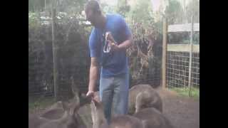 Gunns Plains Australia  City pictures : Mike feeding kangaroos!