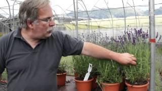 #450 Die Blütezeit der Lavendel