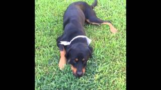 Wolf - Rottweiler (short coat) Dog For Adoption
