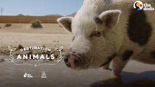 Hang Out With A Rescue Pig Who Eats Watermelon In Her Pool | The Dodo Airbnb Experiences by The Dodo
