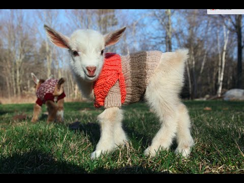 Image result for goats in sweaters