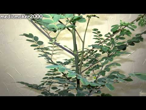 Moringa Tree - Pruning For Thicker Growth