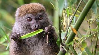 The Cutest Lemur   Island Of Lemurs  Madagascar Featurette