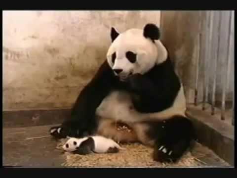 Baby panda starnutisce…