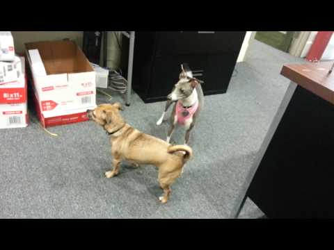 Dogs Getting Rowdy At Work; Miniature Italian Greyhound & Chihuahua – Pug Mixes