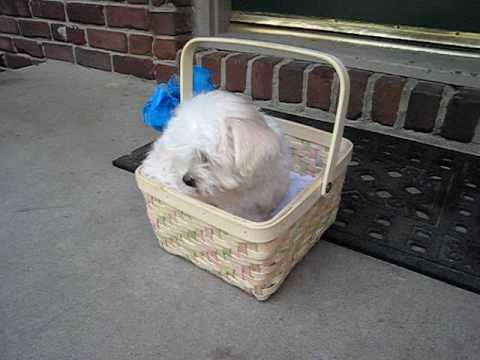 puppy maltese a sorpresa