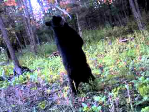 Black Bear Likes Synthetic Bear Juice