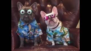 animale cainii cu ochelari hazlii