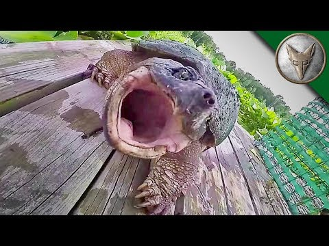 REALLY BAD Snapping Turtle Bite - WARNING GRAPHIC!