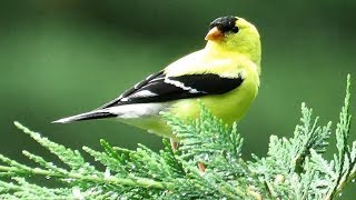American Goldfinch Call