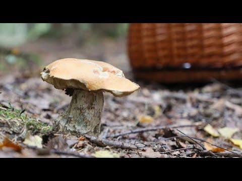 Pilze - warum wachsen dieses Jahr so wenige?