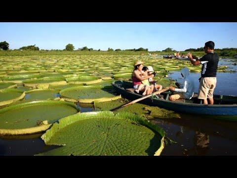 العرب اليوم - شاهد : «زنابق الماء» الضخمة تجذب الزوار إلى نهر باراجواى