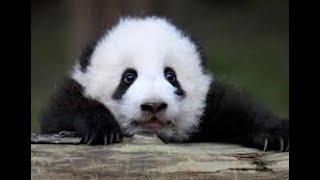 panda to make a poo poo in sleeping 熊貓睡夢中大便 パンダのスツール