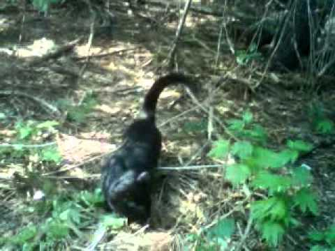 BLACK PANTHER FOUND IN BRAMPTON FOREST