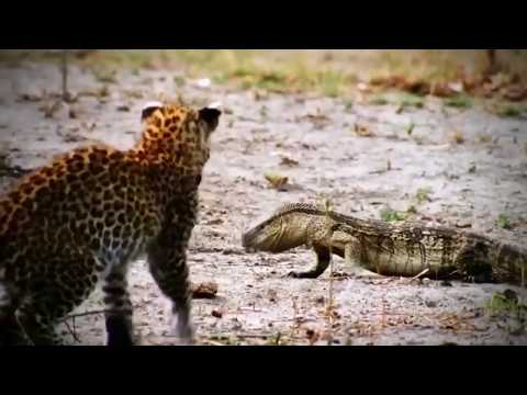 Amazing Jaguar Hunting Crocodile While Sleeping | Big Battle Animals Real
