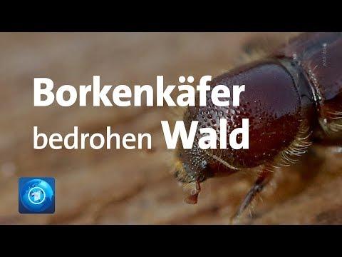 Borkenkäfer-Plage in deutschen Wäldern, stark betroff ...