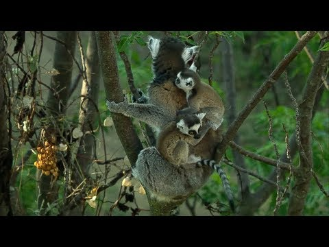 Twin Baby Ring Tailed Lemurs | Madagascar | David Attenborough | BBC Earth