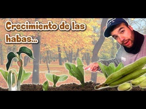Evolución del cultivo de las habas | TuGranjaenCasa.Com