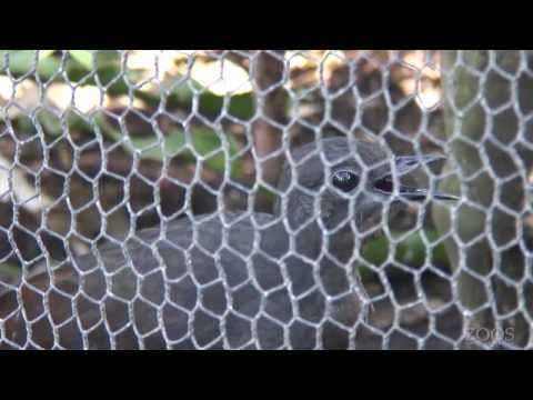 liarbird - This is Chook, our male Superb Lyrebird at Adelaide Zoo. We've had a lot of construction going on lately and Chook has picked up many of the sounds. You can ...