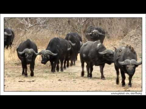 Buffalo Herd at Kruger National Park, South Africa