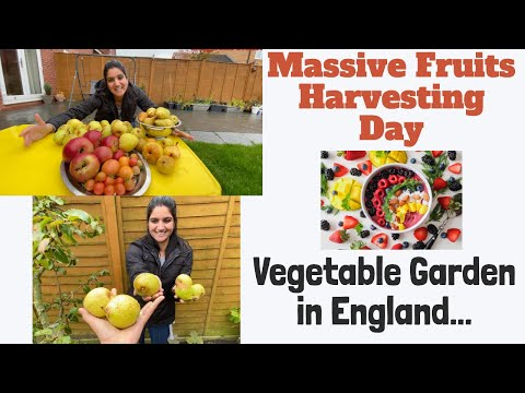 FRUITS HARVESTING DAY TODAY| VEGETABLE GARDEN AND KITCHEN GARDEN TOUR| THE SANGWAN FAMILY