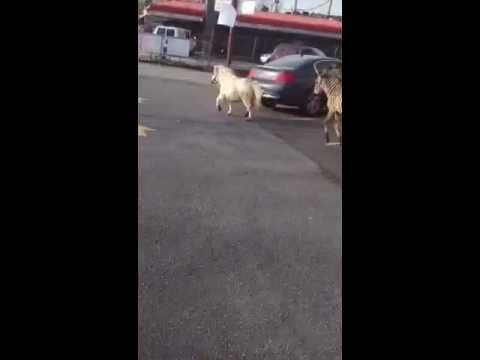 Watch: Pony and Zebra Run Through the Streets of Staten Island