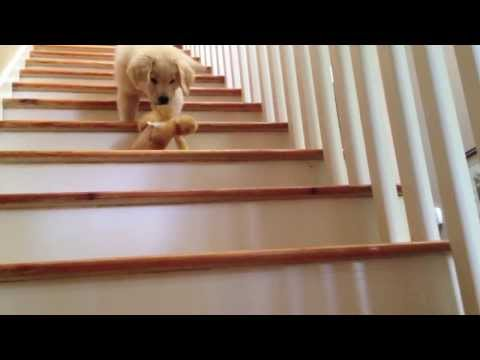 golden retreiver - Boomer's first days at home. These are the sweetest... And of course we had to put all his movements to his favourite song by John Mayer- Wildfire. This litt...