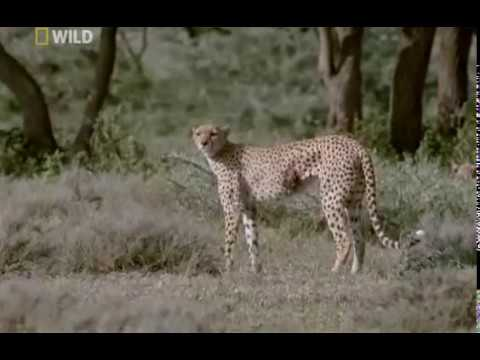 cheetah - In the Serengeti, cheetahs live uneasy lives. Females with cubs must hunt. Left alone, their offspring are exposed to the savagery of more powerful predators...