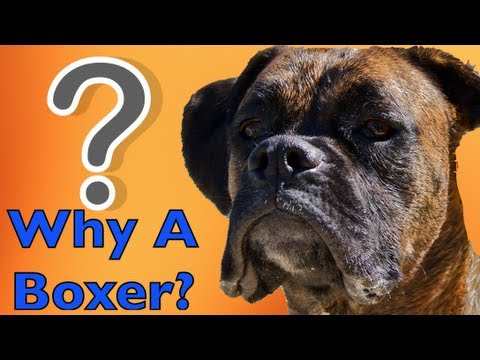 perché scegliere un boxer?