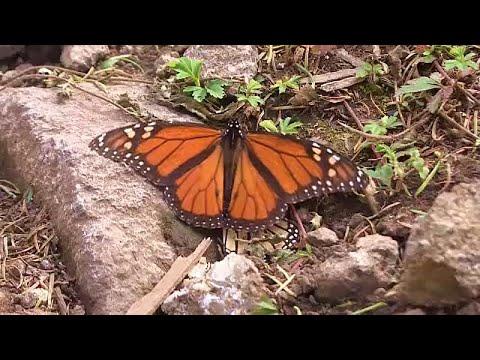 Το μεταναστευτικό ταξίδι για τις πεταλούδες «μονάρχης»…