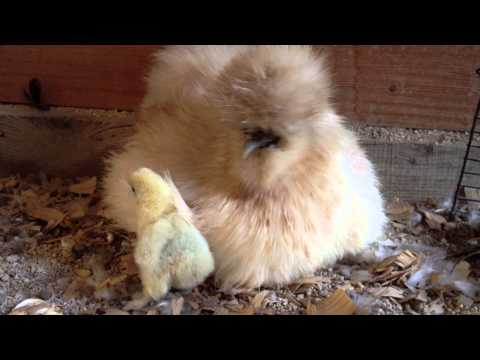 Video Mama Silkie Hen With One Yellow Chick download in MP3, 3GP, MP4, WEBM, AVI, FLV January 2017