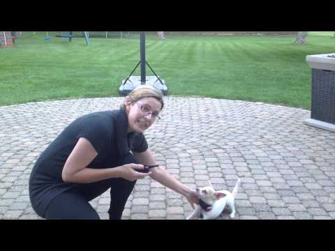 Training a Chihuahua