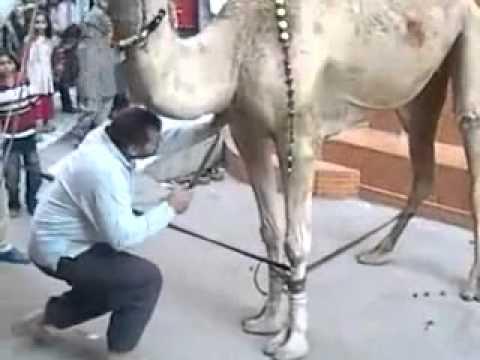 camel qurbani - CAmel Qurbani.