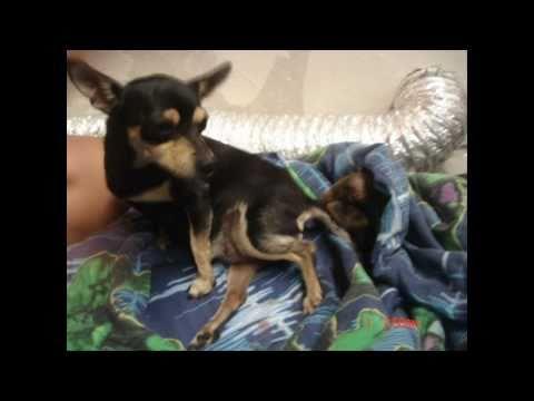 Birth of Puppies (Chihuahuas)