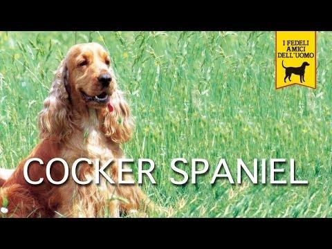 cocker spaniel, cane da caccia o da salotto?