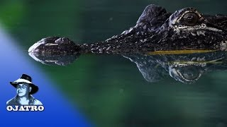 Alligator Reproduction 0201 Narration