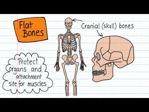 Bone Shapes - Drawn And Defined
