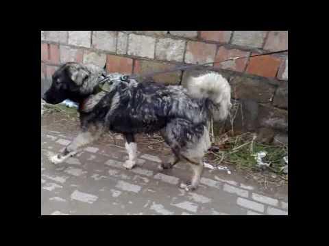 qeni sharrit