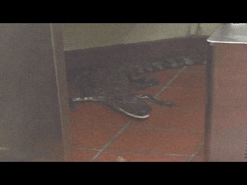 Man Arrested For Tossing Alligator Through Wendy's Drive Thru