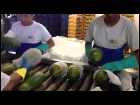 KI erkennt den Reifestand der Papaya