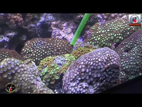 AquaVideoMag 13 - les coraux mous part 2 (видео)
