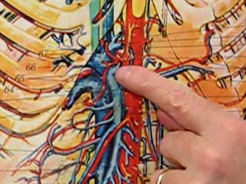 Arteries of the Stomach on Difficult Chart
