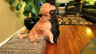 Too Cute Cat Attacks Dog