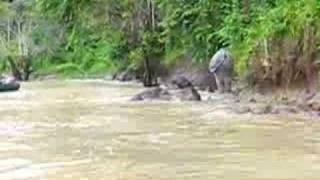 pygmy elephants 2