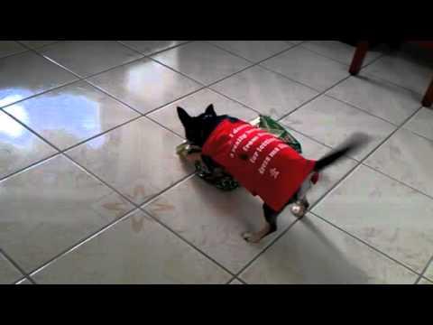 Chihuahua Opening Christmas Present – Alisha