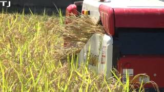 Hiraizumi-machi Japan  city photos : How To Harvest Rice Demonstration In Ishikawa Prefecture Japan