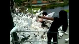 San Joaquin Philippines  city photos gallery : Dove Feeding at Garin Farm, San Joaquin, Iloilo City, Philippines 2