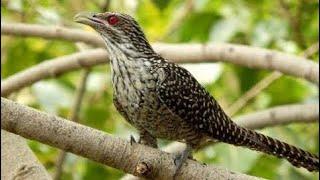 Video Burung Sirit Uncuing / Burung Tuwu, Burung Penuh Mitos Dan Berharga Tinggi MP3, 3GP, MP4, WEBM, AVI, FLV April 2019