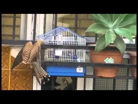 Aguila cazando pajaro en jaula sevilla
