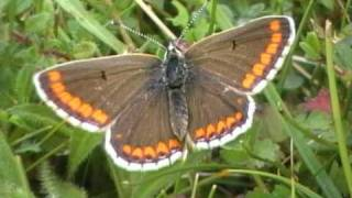 Aston Rowant United Kingdom  City pictures : Brown Argus
